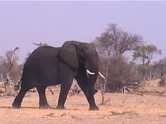 A Lone Bull Elephant