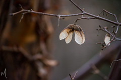 Hanging On (machpe_) Tags: winter tree fall spring seed helicopter hanging 365dayproject