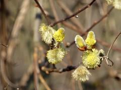 è ufficiale ! (fotomie2009) Tags: wild flower primavera yellow grey spring flora grigio willow fiore equinox pussywillow salice salix cinerea sallow salicaceae cinereo cenerino equinozio graywillow