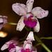 Cattleya amethystoglossa – Merle Robboy