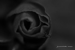 COLLECTOR {040 in 215} ({ jess }) Tags: bw flower macro insect mono ant 2152015 image40215 215in2015