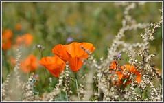 Poppy Protection (tdlucas5000) Tags: california flowers closeup bokeh poppies lancaster wildflowers thorns eschscholzia californiapoppy californica