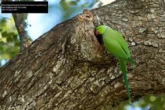 Rose-ringed Parakeet (Psittacula krameri manillensis) (Dave 2x) Tags: parrot parakeet srilanka yala psittaculakramerimanillensis psittaculakrameri roseringedparakeet psittacula yalanationalpark krameri manillensis leastconcern daveirving httpwwwdaveirvingwildlifephotographycom