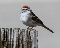 Chipping Sparrow (Shawn Collins Photography) Tags: bird birds canon birding sparrow migration sparrows 400mm chippingsparrow presqueislestatepark canon70d