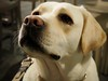 Labrador Dog (kanabananana) Tags: wien dog pet animal puppy march spring eyes europe labrador olympus april olympuspen ヨーロッパ