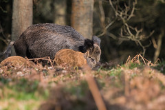 Boar-7051 (WendyCoops224) Tags: wild canon eos nagshead boar sus sow piglets forage forestofdean rspb scrofa 70d humbugs 100400mml ©wendycooper