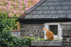 Is the grass greener? (cuppyuppycake) Tags: brick london animal wall cat fence ginger spring kitty herbie