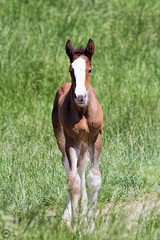 Clydesdale Colt (Mike Matney Photography) Tags: ranch horses horse rural canon us midwest unitedstates farm may missouri budweiser clydesdale boonville 2016 warmspringsranch eost5