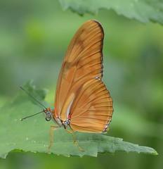 dryas iulia closed wings (brigitte.watz) Tags: butterfly insect insekt orangebutterfly sommerfugl vliegendehollander flambeau dryasiulia juliabutterfly juliaheliconian theflame longlivedanddayactivebutterfly picturefromabutterflyhouse