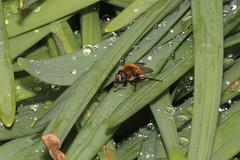 Narcissus Bulb Fly - Merodon equestris - Hamilton County, Ohio, USA - April 28, 2016 (mango verde) Tags: ohio usa yard fly hoverfly syrphidae hamiltoncounty equestris merodon merodonequestris flowerfly syrphidflies narcissusbulbfly