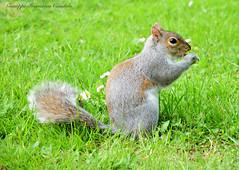 Scoiattolo (candidogiuseppef) Tags: italy parco primavera animal torino italia grigio piemonte animale scoiattolo allaperto