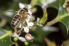 Making Holly Honey (The Mad Macrographer) Tags: uk macro garden outdoors bee honeybee peterborough canon7d canonef100mmf28lmacroisusm nikkvalentine