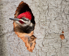 Pileated Woodpecker (NicoleW0000) Tags: tree male bird nature photography woodpecker hole nest watching pileated