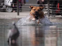 . (kthtrnr) Tags: nottingham dog pigeon waterfeature marketsquare