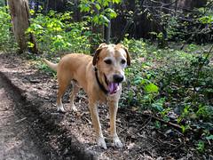 Lasko im Wald (drloewe) Tags: wood dog madera labrador perro hund holz wald
