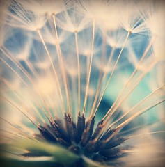 Wishing (jilllian2) Tags: spring dandelion wish wishing olloclip iphone6s