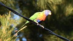 Rainbow Lorikeet (Merrillie) Tags: nature birds animals fauna nikon wildlife lorikeet australia nsw rainbowlorikeet woywoy d5500 nswcentralcoast centralcoastnsw woywoywaterfront