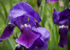 Iris from the yard (danbruell) Tags: flowers spring annarbor seeds bloom