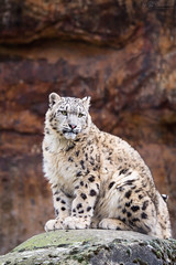 Posing on a rock (Cloudtail the Snow Leopard) Tags: snow animal cat mammal zoo cub big kitten feline young basel leopard katze tier panthera raubkatze schneeleopard sugetier irbis uncia groskatze