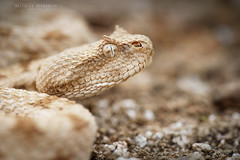 Pseudocerastes persicus (MP7Aquit) Tags: iran trip 2016 sony alpha macro nature herpto wildlife animal animaux ff 24x36 full frame a7ii 7ii 7mk2 sonyilce7m2 herping herpeto reptile reptilian reptilia serpent serpente snake serpentes snakes serpiente field herp sonya7ii sonya7mk2 sonyalpha7mark2 fe 90 f28 g oss fe90f28macrogoss sonyfesonyfe2890macrogoss objectifsony90mmf28macrofe sel90m28g pseudocerastes persicus pseudocerastespersicus persian horned viper persianhornedviper