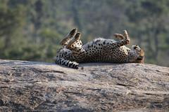 Cheetah (atlas1gp) Tags: africa nature canon wildlife safari cheetah krugerpark 70d