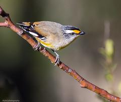 Striated Pardalote Pardalotus striatus (Mykel46) Tags: nature birds canon wildlife au australia southaustralia striated striatus pardalote pardalotus woodforde 14x111 100400mk2 1dxmk2