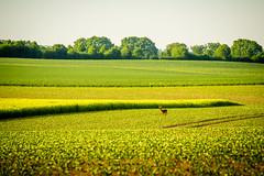Seedorf 31.jpg (vossemer) Tags: de deutschland tiere natur pflanzen felder raps schleswigholstein landschaften blten rehe seedorf
