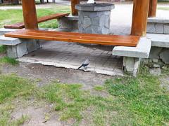 Clark's nutcracker - Manning Provincial Park, BC (elTwister) Tags: nutcracker corvid clarks columbiana nucifraga