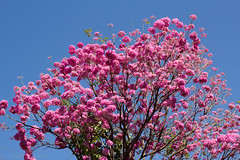 piva -  Ip-rosa (Tabebuia impetiginosa) (Albedi Junior) Tags: ip cerrado matogrosso ufmt bignoniaceae piva