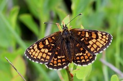 HEATH FRITILLARY (Bradders62) Tags: heathfritillary canoneos7d sigma exmoor somerset southwest butterflies butterfly nature insects wildlife fritillary heaths