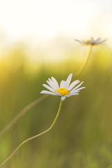 Lazy Daisy (Kathy ~ FineArt-Landscapes) Tags: daisy flowers nature summer light fineart