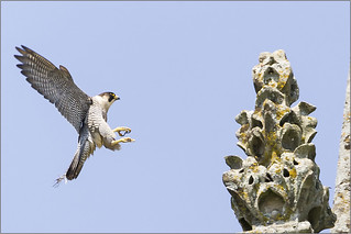Peregrine in action (3 of 3)