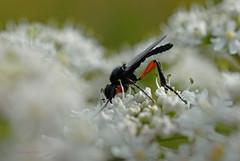 Fliege 1 (DianaFE) Tags: makro insekt fliege kfer schrfentiefe tiefenschrfe freihandmakro dianafe