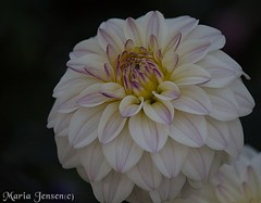 White Flower (mariajensenphotography) Tags: white flower nature coquitlam