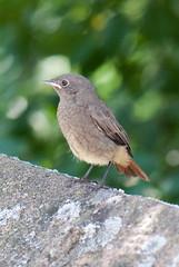 Black Redstart (quinet) Tags: bird germany oiseau vogel 2012 phoenicurusochruros kulmbach castleroad burgenstrase