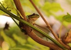 Un jour mon prince viendra.... (leathomson83) Tags: bokeh provence grenouille proxy rainette feuillage
