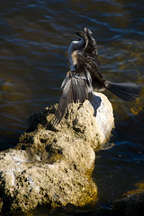 Australasian darter (Macr1) Tags: bird day outdoor sony sunny australia location cameras perth wa 5100 westernaustralia default darter lenses conditions avianfauna elizabethquay markmcintosh macr237gmailcom selp18105g markmcintosh sonyepz18105mmf4goss ilce5100 sonyilce5100 sony5100 61403327236