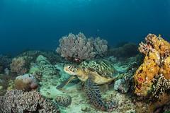 Turtle rub (merbert2012) Tags: ocean nature nikon underwater pacific turtle wildlife philippines scuba diving corals apoisland underwaterphotography nikond800 aquaticahousing wellbeachdiveresort