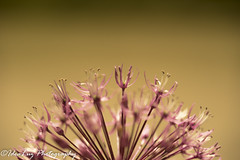 Flower Fire (IdeaLuz Photography) Tags: pink sunset plant flower macro nature fleur plante de gold purple natural outdoor pastel sony sigma 300mm f28 champ dore profondeur 150mm a7ii exterieur a72 a7m2 laea4 a7mii