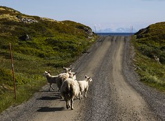 Route d't aux Iles Lofoten (Larch) Tags: shadow sea mer nature animal flock ombre lamb fjord lofoten lofotenislands ewe agneau brebis troupeau ileslofoten