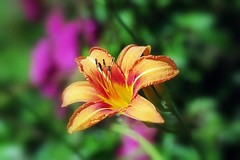 Lys orange (mamietherese1 in vacation) Tags: wow earthmarvels50earthfaves phvalue mixofflowers