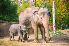Motherhood (Thomas Hawk) Tags: usa baby elephant america zoo unitedstates fav50 unitedstatesofamerica stlouis mo missouri motherhood mothersday forestpark babyelephant fav10 fav25 saintlouiszoo