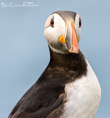 Puffin Perfect (Billy Clapham) Tags: uk sea summer portrait bird nature birds coast spring wildlife northumberland puffin farneislands colony seabird fraterculaarctica breedingseason wildlifephotography seabirdcity nikond7100 parrotofthesea billyclapham