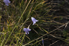"""Harebells • <a style=""""font-size:0.8em;"""" href=""""http://www.flickr.com/photos/63501323@N07/27943255686/"""" target=""""_blank"""">View on Flickr</a>"""