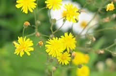 Oakland MD ~ town flowers - HBW! (karma (Karen)) Tags: oakland maryland garrettco flowers dof bokeh brightcolors 4summer hbw bokehwednesdays cmwd