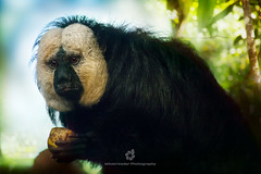 White-faced Saki Monkey Portrait (Male) (fesign) Tags: nature animal horizontal mammal outdoors photography day sitting wildlife nopeople sideview protection primate treebranch maleanimal whitefacedsakimonkey nonurbanscene colourimage pitheciaepithelia
