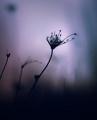 Words Without Actions (Paul Barson) Tags: blue plant black flower macro nature silhouette canon dark flora soft purple outdoor dream dreamy queenanneslace ef100mm florarl