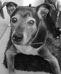 Sirus. (ManOfYorkshire) Tags: sirus rescue dog labrador staffy cross crossbreed old ageing friend carer loyal medication daily blackwhite monochrome snapshot collar eyes ears nose alert looking