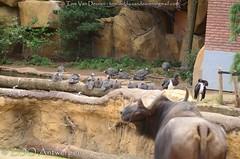 kafferbuffel - Syncerus caffer -  Cape buffalo + Abdims ooievaar - Ciconia abdimii - Abdim's Stork + Helmparelhoen - Numida meleagris - Helmeted Guineafowl (MrTDiddy) Tags: kafferbuffel syncerus caffer cape buffalo abdims ooievaar ciconia abdimii stork helmparelhoen numida meleagris helmeted guineafowl zoogdier mammal bird vogel zooantwerpen zoo antwerpen antwerp
