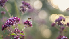 Enjoying the sunset... (.: mike | MKvip Beauty :.) Tags: flowers sunset flower green nature animal backlight zeiss germany insect 50mm prime spring europe bokeh availablelight sony ngc naturallight jena npc wildflowers 1956 alpha wildflower sunsetlight backlighting hoverfly mth wideopen shallowdof carlzeiss schwebfliege tessar czj preset 1q 28 vintagelens carlzeissjena redt primelens manuallens manualexposure extremebokeh smoothbokeh sonyalpha bokehlicious wrthamrhein carlzeissjenatessar manualfocusing vintageprime beyondbokeh emount mkvip manualondigital sonyalpha5100 ilce5100 sonyilce5100 carlzeissjenatessar50mm28 tessar50mm28 carlzeissjenatessar50mm carlzeissjenatessar50mm28preset tessar50mm28preset sony5100 5100